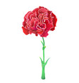red carnation isolated on white background vector image vector image