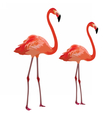 Flamingo birds isolated on white vector image vector image