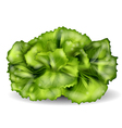 lettuce isolated on a white vector image vector image