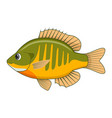 bluegill fish on a white background vector image vector image