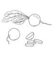 set penciling sketch radish vector image vector image