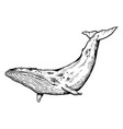 whale animal engraving vector image vector image