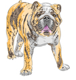 dog English Bulldog vector image vector image