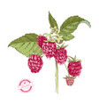 hand drawn raspberry branch vector image vector image