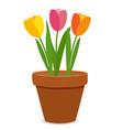 spring tulip flowers in flower pot vector image vector image