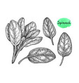 ink sketch of spinach vector image vector image