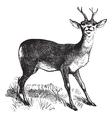 Roe Deer vintage engraving vector image vector image