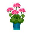 geranium houseplant in flower pot vector image vector image
