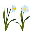 daffodils with open blue buds and long green stem vector image vector image