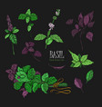 set of basil plant green and purple colorful vector image