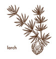 larch branch of plant with needles and leaves cone vector image vector image