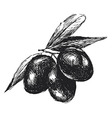 Hand sketch black olives vector image