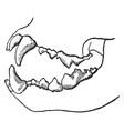 Carnivorous skeleton vintage vector image