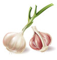 realistic sprouted head of garlic and half vector image