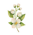 Watercolor jasmine isolated on a white background