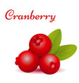 forest cranberry with leaves vector image vector image