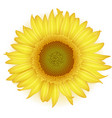 blooming sunflower in realistic style vector image vector image