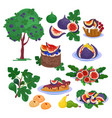 fig fresh fruity food and ripe figs healthy vector image vector image
