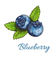 Blueberry fruits with leaves isolated sketch vector image vector image