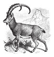 wild goat vintage vector image vector image