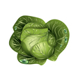 cabbage with drops of water vector image vector image