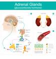 adrenal gland glucocorticoids hormone
