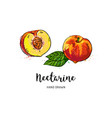 nectarine fruit drawing half nectarine with bone vector image vector image