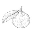 mandarin orange with leaf black and white hand vector image vector image