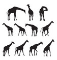 set of black silhouettes of giraffes vector image