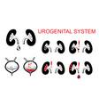 urogenital system kidneys bladder vector image vector image