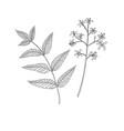 drawing neem tree branch vector image