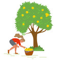 young girl picking yellow apples image vector image
