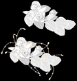White roses isolated on black vector image vector image