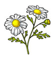 chamomile flower with leaf color engraving vector image