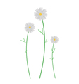 Three White Cosmos Flowers on White Background vector image