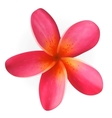 Pink Plumeria flower isolated on white vector image vector image