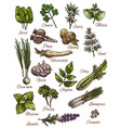 spice herb and fresh leaf vegetable sketch design vector image vector image