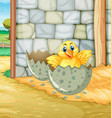 little chick hatching egg in barn