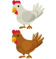 chicken with white and brown feather vector image vector image