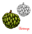 cherimoya custard apple sketch of tropical fruit vector image
