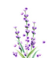 lavender watercolor card isolated summer floral vector image vector image