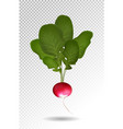 photo realistic beautiful ripe red radish and vector image