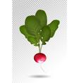 photo realistic beautiful ripe red radish and vector image vector image