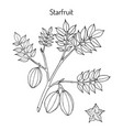 starfruit averrhoa carambola medicinal plant vector image