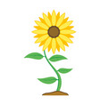 sunflower flower with green leaves isolated vector image