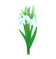 bouquet of snowdrop flowers vector image