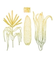 Graphic corn collection vector image