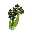 fresh parsley leaves vector image