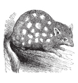 Eastern Quoll Engraving vector image vector image
