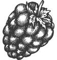 raspberry hand drawn sketch fruit vector image